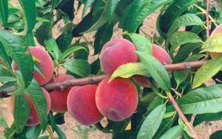 Персик Посол Мира — описание сорта и отзывы садоводов