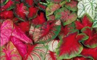 Как посадить и вырастить каладиум дома, советы по уходу за тропическим растением
