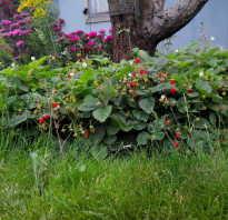 Земляника Руяна: выращивание, описание сорта, фото и отзывы