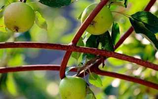 Как вырастить из семечка яблоню?