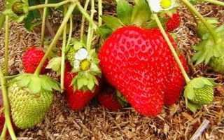 Земляника Мея: выращивание, описание сорта, фото и отзывы