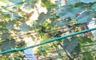 Сорта винограда для Донбасса
