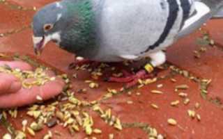 Можно ли кормить голубей чёрным хлебом, пшеном, гречкой, горохом и другими продуктами