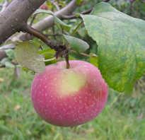 Яблоня Осенняя радость — описание сорта, фото, отзывы