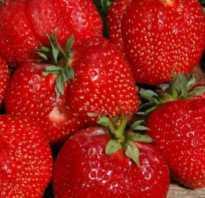 Клубника Машенька — описание сорта, фото и отзывы садоводов