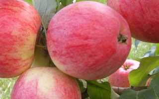 Яблоня Медовая — описание сорта, фото, отзывы