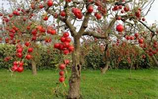 Карликовые сорта персиков
