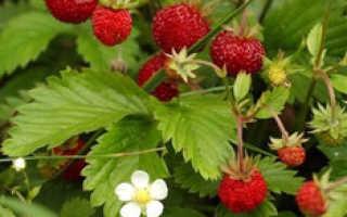 Земляника Золотой Десерт: выращивание, описание сорта, фото и отзывы