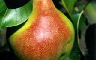 Груша Самарская красавица — описание сорта, фото, отзывы садоводов