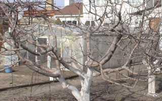 Обрезка старых яблонь — полезная информация