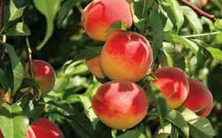 Персик Ред Хевен — описание сорта и отзывы садоводов