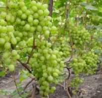 Виноград Кеша: описание сорта, фото и отзывы садоводов