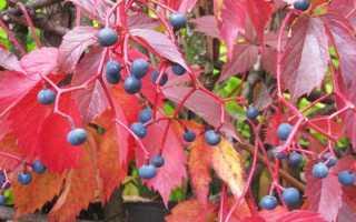 Виноград девичий: посадка и уход