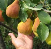 Груша Купава — описание сорта, фото, отзывы садоводов