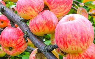 Яблоня Коричное полосатое — описание сорта, фото, отзывы