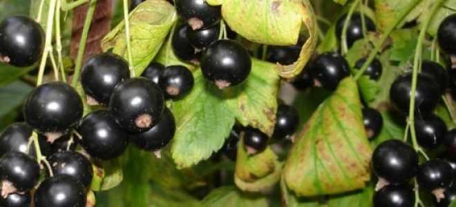 Сорт черной смородины экзотика: характеристика, агротехника выращивания