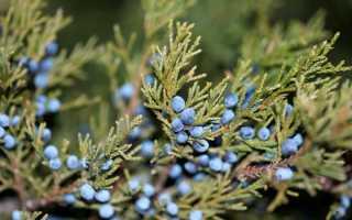Особенности выращивания можжевельника виргинского