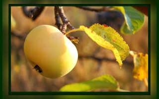 Уход за яблонями осенью и подготовка к зиме