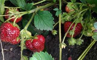 Земляника Любава: выращивание, описание сорта, фото и отзывы