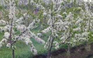 Как посадить черешню весной: пошаговое руководство — полезная информация