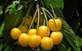 Черешня Орловская Янтарная — описание сорта, фото, отзывы садоводов