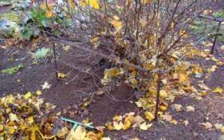 Как обработать крыжовник осенью?