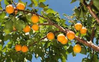 Выбираем лучшие сорта абрикоса для Подмосковья