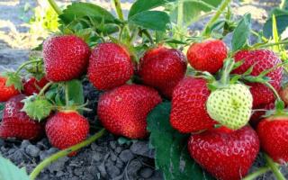 Клубника Хоней — описание сорта, фото и отзывы садоводов