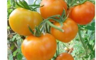 Томат Ананас — описание сорта, отзывы, урожайность
