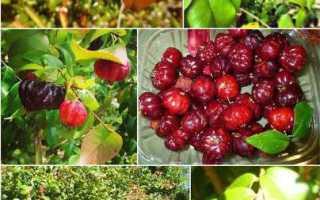 Где растет Суринамская вишня?