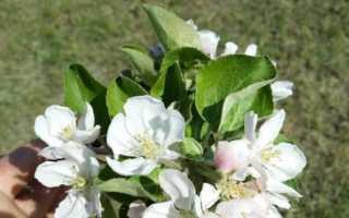 Когда цветут яблони?