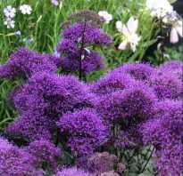 Цветок трахелиум: описание растения и выращивание, уход