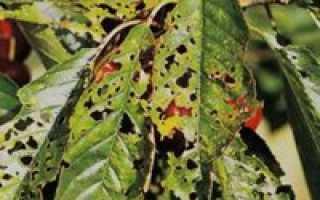 Обработка черешни от вредителей после цветения — это важно знать