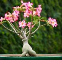Как вырастить адениум из семян: рекомендации опытных цветоводов