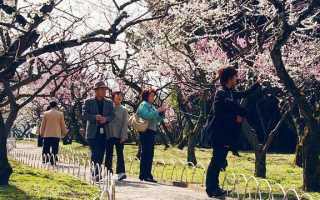Абрикос Японский — описание сорта и отзывы с фото