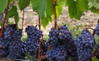 Виноград Альфа: описание сорта, фото и отзывы садоводов
