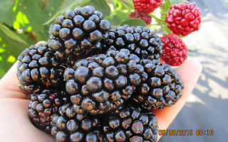 Ежевика Апачи — описание сорта, характеристика, выращивание, фото и отзывы