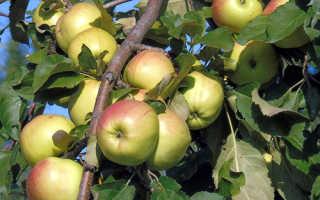 Яблоня Братчуд — описание сорта, фото, отзывы
