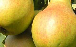 Как вырастить грушу сорта велеса на вашем участке