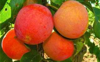 Крупноплодные сорта сливы