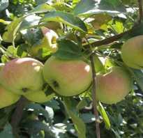 Яблоня Подарок Садоводам — описание сорта, фото, отзывы