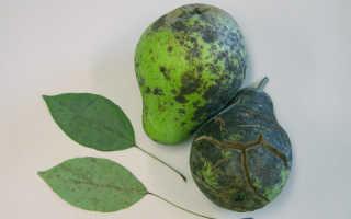 Болезни груши — описание с фотографиями и способы лечения: советы садоводам