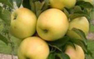 Колоновидная яблоня Медок — описание сорта, фото, отзывы