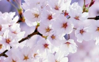 Вишня цветет, но не плодоносит — что делать?