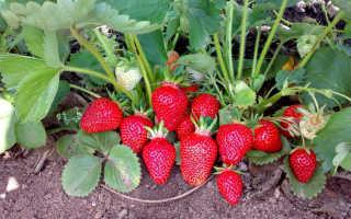 Клубника Клери — описание сорта, фото и отзывы садоводов