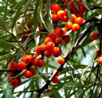 Облепиха Клавдия — описание сорта, фото и отзывы садоводов