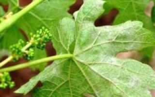 Серый налет на ягодах винограда — как бороться?