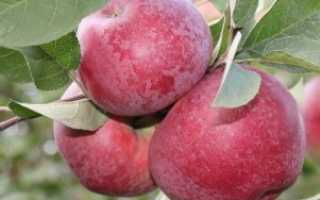 Яблоня Лобо — описание сорта, фото, отзывы