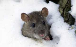 Как защитить виноград зимой от мышей?