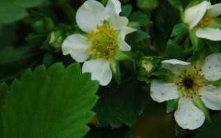Почему чернеет серединка у цветка клубники:
